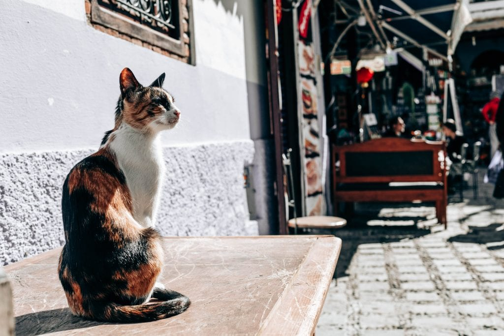 cats of Chefchaouen Morocco blue city