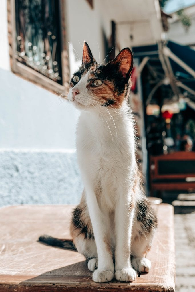 cats of Chefchaouen Blue City Morocco